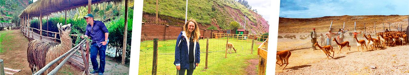Volunteer work in Care of rescued animals cusco peru wiracocha spanish school